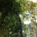 japan_wistaria_08