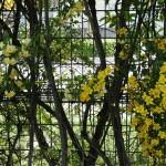 japan_wistaria_09