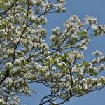 """Это по-японски называется """"ханамидзуки"""" (тут надобно отметить, что произносить это надо """"хана-мидзуки"""", а то кое-какое другое произношение, однажды внедрившееся мне в мозги, может изрядно испортить впечатление от этого дерева)"""