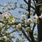 Это завезенное из Америки дерево, в начале XX века. Но здесь прижилось и сейчас можно увидеть и в парках, и в частных садах. Есть еще розовая разновидность