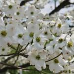 В 2012 году правительство США подарило Японии 100 деревьев хана-мидзуки. В честь 100-летней годовщины подарка японского правительства США: в Вашингтоне и сейчас живы посаженные тогда сакуры