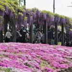 """Сверху - глициния, снизу - сиба-дзакура, мелкая """"приземленная"""" разновидность флоксов, цветы которой слегка похожи на сакуровые. Преимущественно цветом"""
