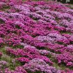 japan_wistaria_16
