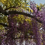 japan_wistaria_17