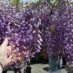 К постоянным вопросам о запахе местных цветочков. Глициния таки пахнет. А в таких количествах - пахнет мощно