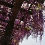 japan_wistaria_20