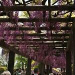 japan_wistaria_21