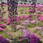 japan_wistaria_22