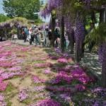 japan_wistaria_23