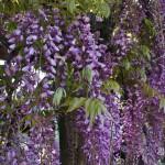 japan_wistaria_24