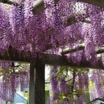 japan_wistaria_25