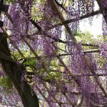 japan_wistaria_26