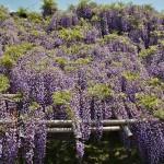 japan_wistaria_27