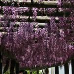 japan_wistaria_29