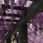japan_wistaria_30