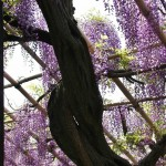 japan_wistaria_31