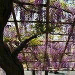 japan_wistaria_32