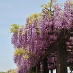 japan_wistaria_33