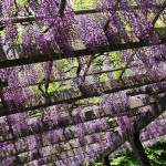 japan_wistaria_35
