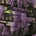 japan_wistaria_36