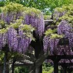 japan_wistaria_37