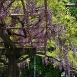japan_wistaria_38