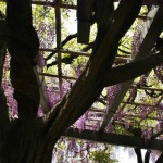 japan_wistaria_40