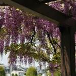 japan_wistaria_41