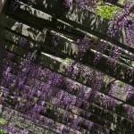 japan_wistaria_42