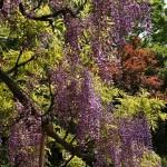 japan_wistaria_43