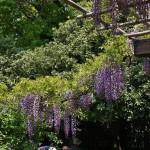 japan_wistaria_44
