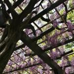 japan_wistaria_45