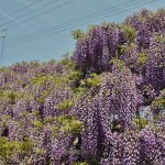 japan_wistaria_47