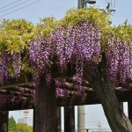 japan_wistaria_48