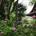 japan_hydrangea_092