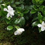 Местная разновидность гардении, тоже летний цветок. Очень ароматный