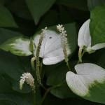 """Еще одно японское название цветка - """"ханкэсё"""" 半化粧 - """"половина макияжа"""". Происхождение названия понятно, да?"""
