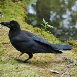 Чёрный птиц весьма заинтересованно следил за мной какое-то время, по-всячески вертясь и позируя. Потом ему надоело и он улетел