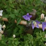 """Колокольчики будут цвести до осени, но сейчас в храме у них явно """"пересменка"""": одна порция отцветает, зацветают новые"""