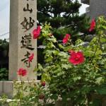 А это разновидность гибискуса в буддийском храме Мёрэн-дзи. Про сам храм расскажу отдельно, он того заслуживает. Пока же - только цветочки, которые в этом храме выращивают