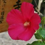 """Гибискус """"Hibiscus mutabilis"""", по-японски - """"фуёу"""" フヨウ (芙蓉). Иногда называют """"древесным лотосом"""""""