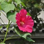 Фуёу цветут ровно один день: цветок распускается утром и увядает вечером. Но куст фуёу выпускает все новые и новые бутоны и цветет с июля до октября
