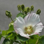 ? ??????? ?? ???????????? Confederate rose (the cotton rosemallow), ???????? ???? ?? ?????? ???? ? ??????? ???
