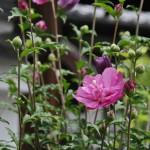 Опять мукугэ, розовый, махровый