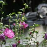 japan_summer_flowers_29