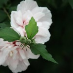 japan_summer_flowers_33