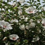 japan_summer_flowers_36