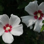 japan_summer_flowers_37