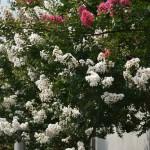 Еще один очень популярный цветок сезона. Тут уж я не поехала ни в какой храм, это снято около одной из школ в нашем районе