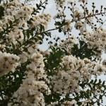 """По-японски это называется """"сарусубэри"""" サルスベリ (""""соскальзывающая мартышка"""") - за очень гладкий ствол. Иначе называют также 百日紅, читаться может по-разному: хякудзицуко или хякунитибэни, но смысл один - """"цветущий 100 дней"""". Как понятно из названия, цветет это около трех месяцев, начиная с июля и заканчивая сентябрем"""